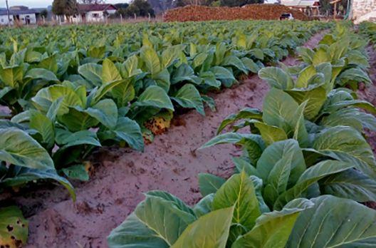 Declínio da área de tabaco na região de Araranguá