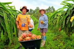Santa Catarina vira polo de produção sustentável de pitaia