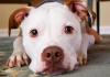 Dois cães furtados em Sombrio e um morto a tiros em Santa Rosa do Sul
