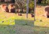SAMAE: Na Lagoa da Serra, capivaras são um show à parte