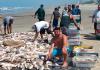 VÍDEO: Pesca da corvina é comemorada durante o final de semana no Morro dos Conventos
