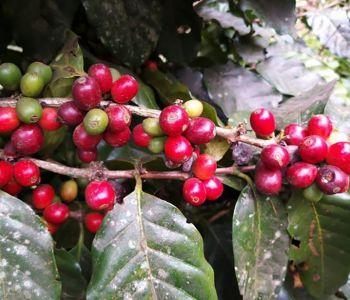 Pesquisa revela potencial catarinense para produzir café especial