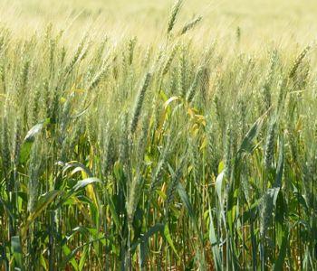 Santa Catarina amplia em 15% a área plantada de trigo