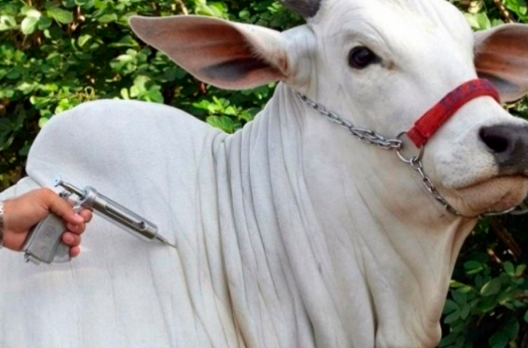Rebanho bovino terá exames preventivos contra Tuberculose e Brucelose em Meleiro