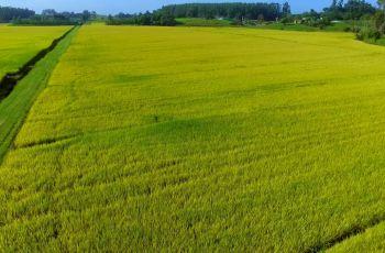Cooperja multiplica nova cultivar de arroz lançamento da Epagri: SCS125