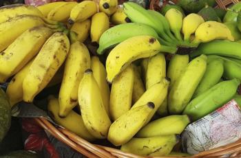 Agricultores de Criciúma podem pedir mudas gratuitas de banana até agosto