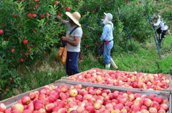Exportações de maçãs e suínos são destaque no Boletim Agropecuário de abril