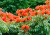 Cidades de SC determinam corte de árvore com flor tóxica que pode envenenar animais