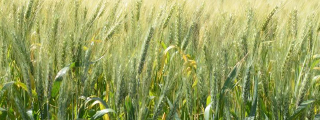 Santa Catarina investirá R$ 5 milhões em novo projeto de incentivo ao plantio de cereais...